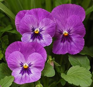 Purple cultivar