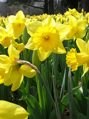 Yellow daffodils - floriade canberra