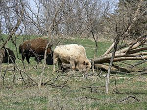 English: (Bison bison), Blonde bison at Lee G....